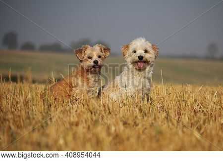 Two Small Beautiful Dogs Are Sitting In A Stubble Field