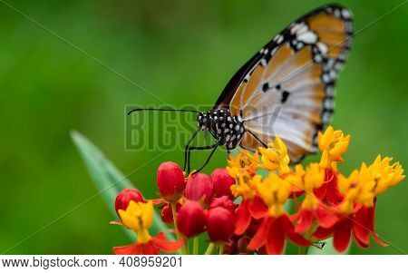 Macro Shot Of  Plain Tiger Or African Monarch Butterfly (danaus Chrysippus) In Yellow And Red Flower