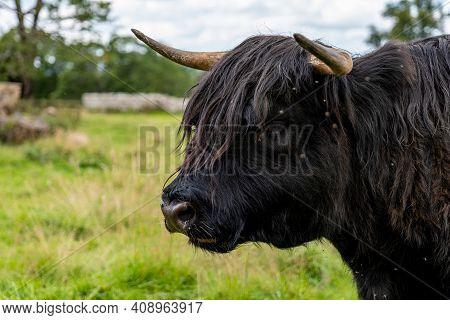 Detail On A Head Of Highland Scottish Cow (hielan Coo, Bo Ghaidhealach) In Scotland, Uk