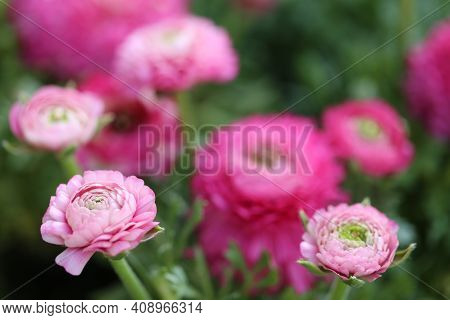 Pink Ranunculus.pink Buttercups Flower.floriculture Concept. Spring Flowers In The Garden. Spring Pi