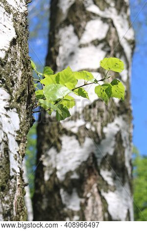 Young Birch With Black And White Birch Bark In Spring In Birch Grove Against Background Of Other Bir