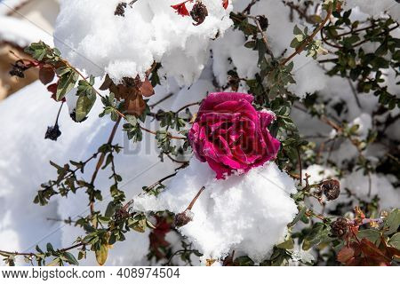 Winter Morning Snow Covered Pink Rose Bush In The Park Of The City Of Athens, Greece, 17th Of Februa