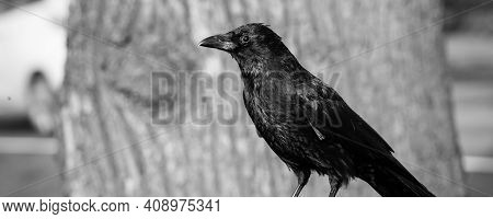 Black And White Banner With Blackbird Or Raven In The City