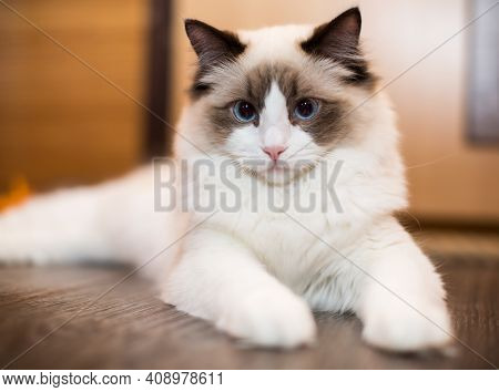 Beautiful Young White Purebred Ragdoll Cat With Blue Eyes