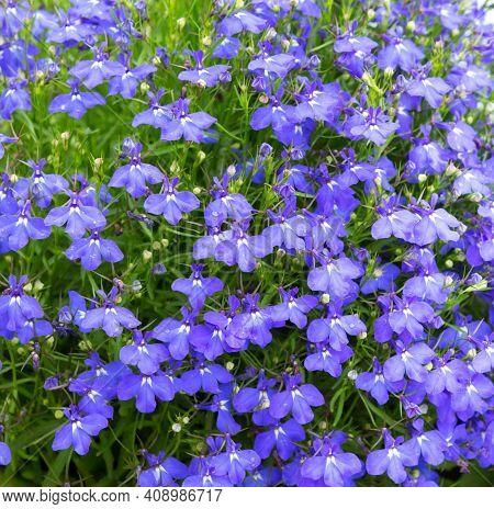 Lobelia. Blue Tail Lobelia Sapphire Flowers Or Fringing Lobelia Or Lobelia Erinus 'sapphire'. Edging