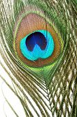 Peacock feather macro closeup isolated on white background poster