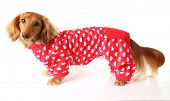 Dachshund puppy wearing a valentines outfit. poster