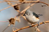 Adorably cute Tufted Titmouse perched on a dry sunflower stalk in winter poster