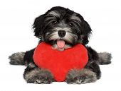 A cute lover valentine havanese puppy dog is holding a red heart isolated on white background poster