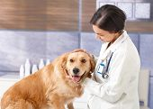 Young veterinarian examining cute golden retriever at pets' clinic. poster