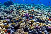 colorful coral reef with hard corals on the bottom of red sea - underwater photo poster