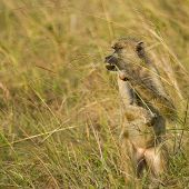 An olive baboon feeding in the long grasses of the Shimba Hills Reserve in Kenya. poster