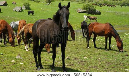 Black stallion and brown horses on a meadow