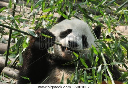 Giant Panda Eating Bamboo In Chengdu, China