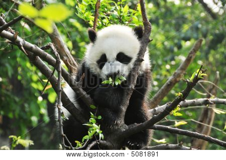 Baby Giant Panda In A Tree In Chengdu, China