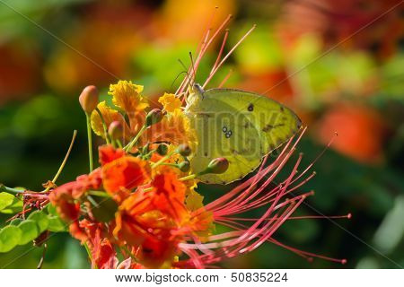 African Migrant Butterfly on flowers
