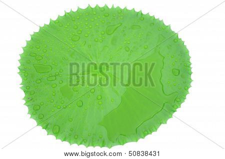 Drops Of Water On Beautiful Lotus Leaf In A Pond