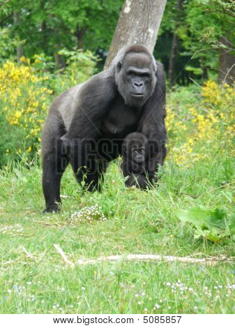 Female Gorilla With Her Baby