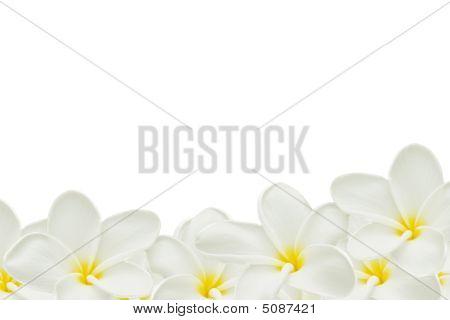 Plumeria On White Paper