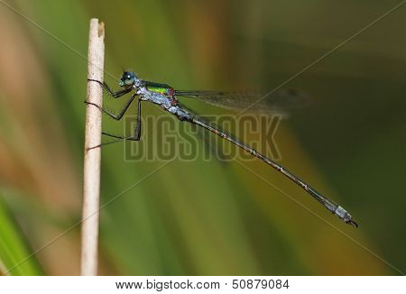 Male Emerald Damselfly (Lestes sponsa)