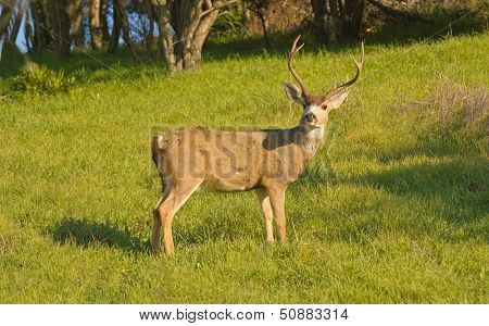 Black-tailed buck watching the photographer
