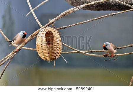 Two small adult birds and child bird in the nest in bird house.