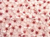 high resolution digital photo of hundreds beautiful small flowers collected from a north america flowering plum tree ** note: slight blurriness, best at smaller sizes poster