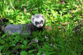 Sable ferret, Mustela putorius, walking on the green grass poster