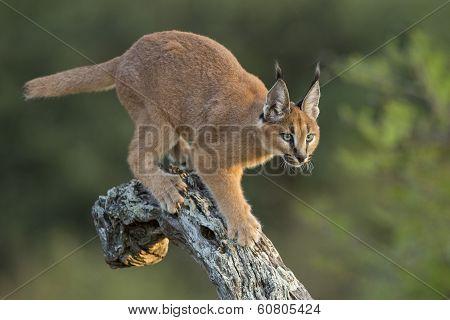 Caracal (felis Caracal) Walking Down Tree  South Africa