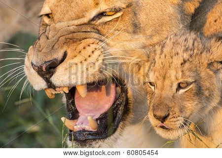 African Lion Mother And Cub (panthera Leo) South Africa(panthera Leo) South Africa