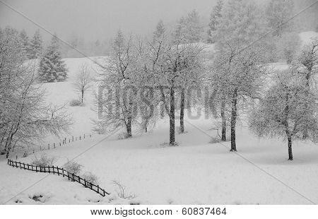 Whitewashed Trees During Copious Snowfall