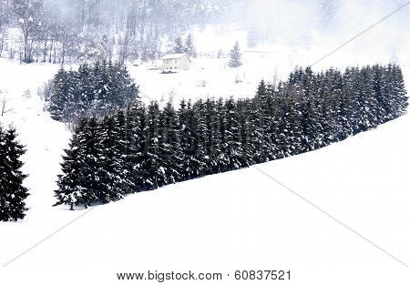 Fir Trees Covered With Snow In The Mountains During A Cold Winter