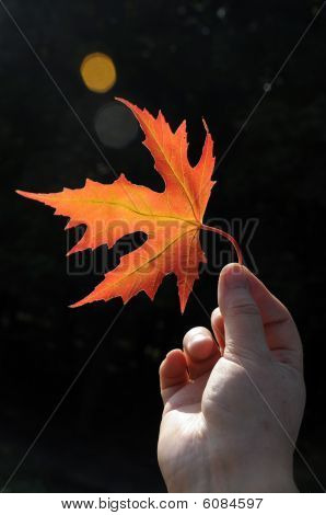 Maple sheet in a hand.