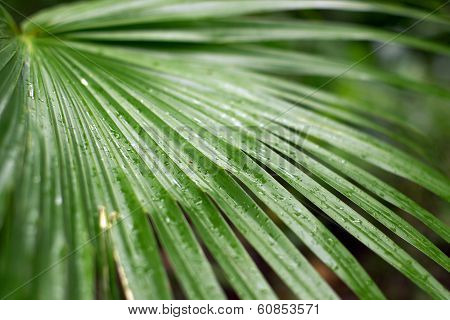 A Few Water Drop Upon A Green Palm Frawn