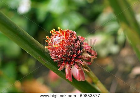 An Exotic Pink And Yellow Tipped Flower From A Caribbean Island
