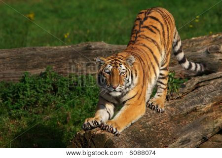 Siberian Tiger Stretching Out
