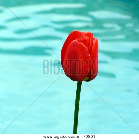 Red Tulip Against Blue Water