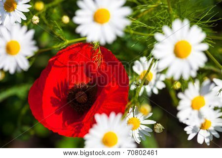 Closeup of the blooming poppies and chamomiles. poster