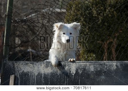White cute watchdog, Pancharevo town