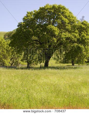 big_tree_in_field