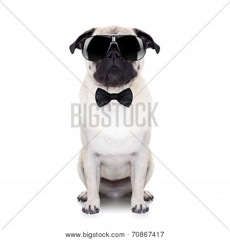 pug dog looking so cool with fancy sunglasses and a black small tie poster