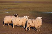 Three sheep standing in a row in a field with warm afternoon front lighting. Black headed sheep at the back of the line. Copyspace for your text. poster
