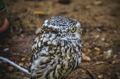 cute little owl, gray and yellow beak and white feathers poster