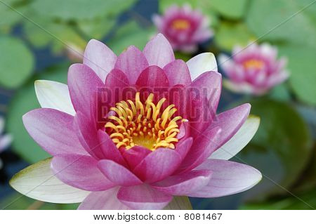 Close up of water lily in summer poster