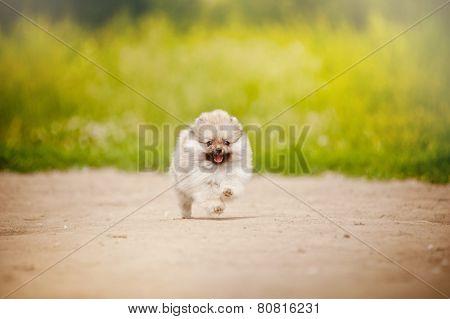 Pomeranian Spitz Puppy Running
