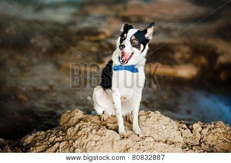 Purebred Black And White Dog Yawns