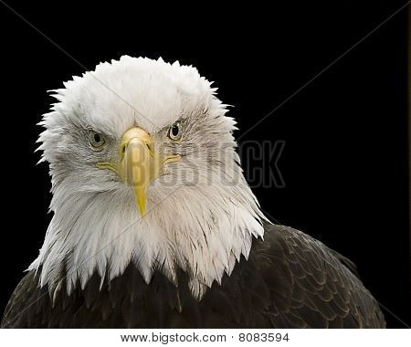 Eagle on Black