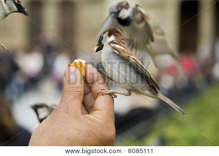 Sparrows being hand fed near Notre Dame de Paris, France poster