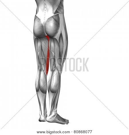 Concept or conceptual 3D gracilis human upper leg anatomy or anatomical and muscle isolated on white background