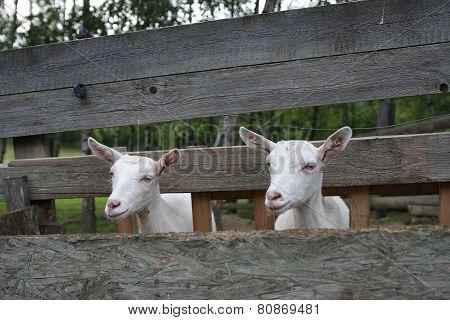 Goats In Wooden Stockyard